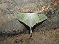 Moon Moth Actias selene by Dr. Raju Kasambe DSCN8672 (8).jpg