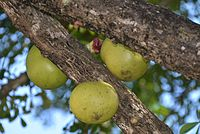 C. cujete, kalebassträd