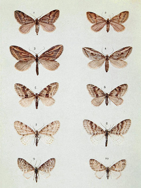 Moths of the British Isles Series2 Plate057.jpg