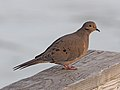 Mourning Dove - Zenaida macroura, Occoquan Bay National Wildlife Refuge, Woodbridge, Virginia (28233586289).jpg
