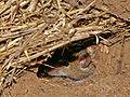 Mouse vermin.jpg