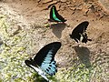 Mud puddling Indian swallowtails.jpg