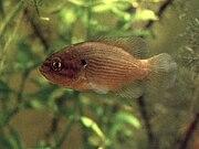 Mud sunfish in aquarium