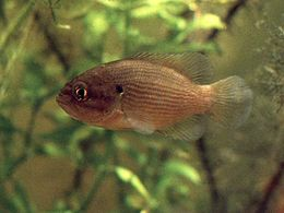 Mud sunfish in aquarium.jpg