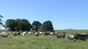 English: Murray Grey cows and calves, Walcha, NSW