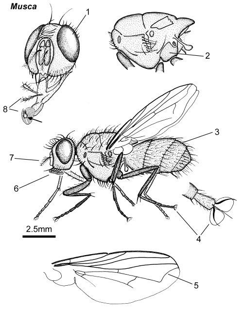 Musca adult lateral parts.png