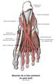 Muscle long fléchisseur des orteils 1.png