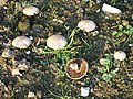 Mushrooms - geograph.org.uk - 81600.jpg