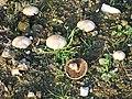 Mushrooms - geograph.org.uk - 81600.jpg