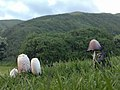 Mushrooms on green grass with hills in background.jpg