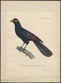 Musophaga violacea - 1825-1834 - Print - Iconographia Zoologica - Special Collections University of Amsterdam - UBA01 IZ19300027.tif