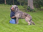 My mum got a rescue Irish Wolfhound yesterday. His owner was unable to keep him any longer due to a terminal illness so my mum was contacted by the rescue wolfhound society to see if she would take (13816362143).jpg