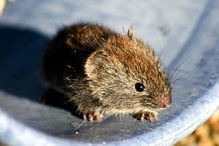 Grey red-backed vole species of mammal