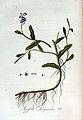 Myosotis scorpioides — Flora Batava — Volume v3.jpg