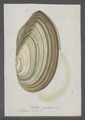 Mytilus anatinus - - Print - Iconographia Zoologica - Special Collections University of Amsterdam - UBAINV0274 076 01 0032.tif