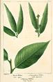 NAS-125 Salix nigra & lucida.png