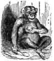 NSRW Chimpanzee.png