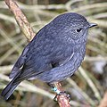 NZ North Island Robin 4.jpg