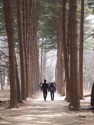 Namiseom - Another view of the Metasequoia footpath