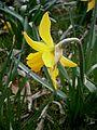 Narcissus February Gold closeup 2.jpg