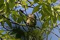Nashville Warbler (male) Sabine Woods TX 2018-04-22 09-13-34 (41991964441).jpg