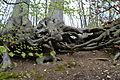 Naturschutzgebiet Herrenberg und Vorberg im Huy - Baumwurzeln am Weinberg (1).JPG