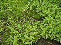 Neanotis lancifolia (6032296342).jpg