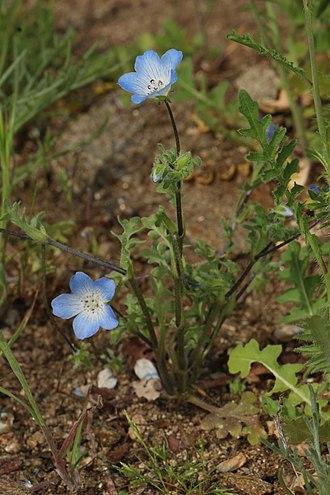 Nemophila menziesii - Image: Nemophila menziesii 7794
