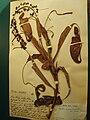 Nepenthes mirabilis herbarium specimen.jpg