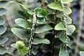 Nephrolepis cordifolia 3zz.jpg
