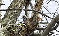 Nest buildin' (33414737223).jpg