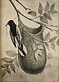 Nests and eggs of North American birds; (1889) (14728014436).jpg