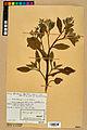 Neuchâtel Herbarium - Borago officinalis - NEU000020574.jpg