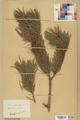 Neuchâtel Herbarium - Pinus sylvestris - NEU000003778.tif