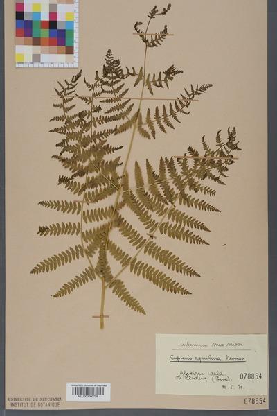 File:Neuchâtel Herbarium - Pteridium aquilinum - NEU000000728.tiff