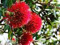 New Zealand Pohutukawa (6004702486).jpg