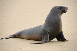New Zealand sea lion - Image: New Zealand Sea Lion