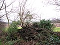 New tree growing out of old tree trunk - geograph.org.uk - 1080895.jpg