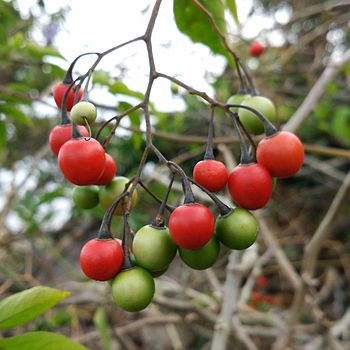 Nilgiri cherry berry.jpg