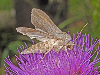 Shark (moth) - Image: Noctuidae Cucullia umbratica