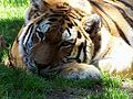 Norfolk Zoo Tiger.jpg