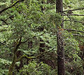 Notholithocarpus densiflorus Big Basin State Park.jpg