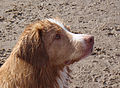 Nova Scotia Duck Tolling Retriever headshot.jpg