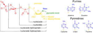 Nucleoside triphosphate - Image: Nucleotides