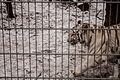Nyíregyháza Zoo - White tiger-3.jpg