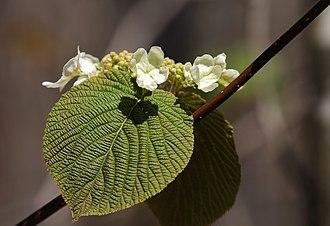 Viburnum lantanoides - Image: ON Algonquin Provincial Park Blüte