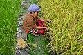 ORGANIC FARMING AT BATAD RICE TERRACES.jpg