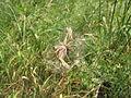 Odkvetlá rostlina (03).jpg