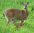 Odocoileus virginianus (white-tailed deer) 6 (8269171051).jpg