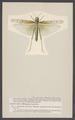 Oedipoda - Print - Iconographia Zoologica - Special Collections University of Amsterdam - UBAINV0274 004 03 0026.tif